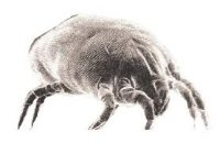 the common north american dust mite North american house dust mite: with the fecal pellets and cast skins of house dust mites common causes of allergy include house dust mites.