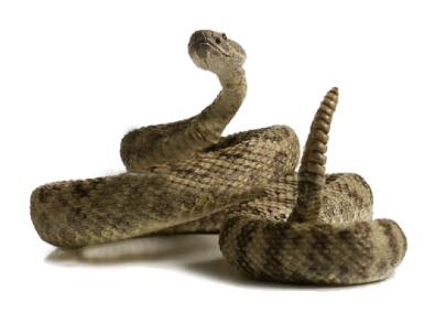 Massasauga Rattlesnake Dog Bite